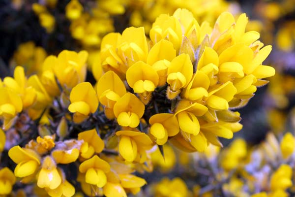gorse-wardens-tale-suffolk-coast