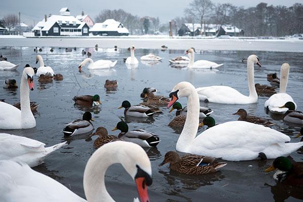 WardensTrust-Suffolk-swans-Sizewell